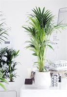 Afbeelding van Kentia Palm in pot